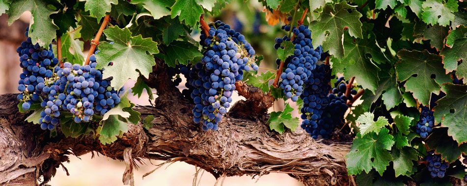 grapes-on-thick-vine