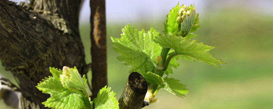 grapevine-bud-break